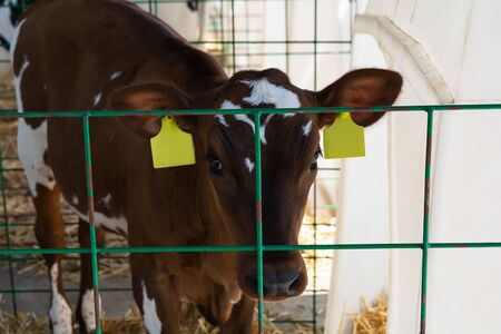 Young brown calf (heifer) in white calf-house diary farm.  Animal protection concept