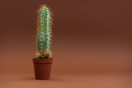 Cactus in shape of male genital organ. Sexually transmitted diseases concept.