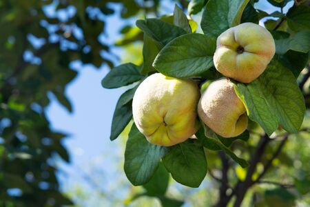 Raw apple quince fruits on tree branches. Harvest concept. Soft focus