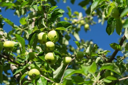 Fresh Golden Delicious apple fruits on tree branches. Harvest concept. Soft focus Stok Fotoğraf