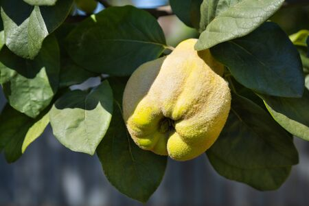 Close-up of apple quince fruit on tree branches. Harvest concept. Soft focus Stok Fotoğraf