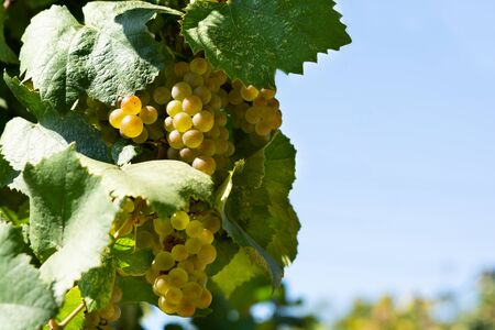 Close up vineyard and white grapes against blue sky. Harvesting time or winemaking concept. Selective focus
