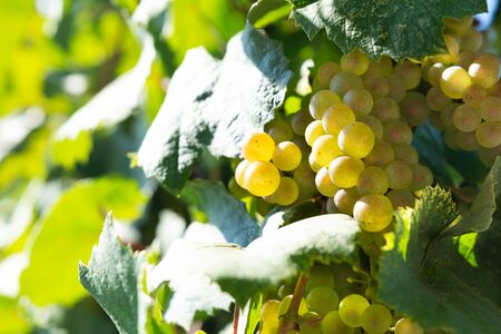 Bunches of white wine grapes on vine with sun lights. Harvesting time or winemaking concept. Selective focus Stok Fotoğraf