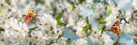 Banner 3:1. Cherry blossom in full bloom with butterflies against blue sky. Spring background. Copy space. Soft focus Stok Fotoğraf
