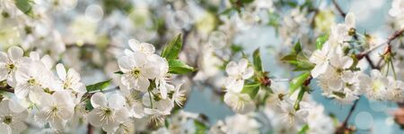 Banner 3:1. Cherry blossom in full bloom against blue sky. Spring background. Copy space. Soft focus Stok Fotoğraf