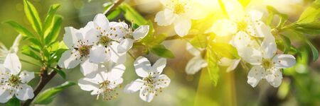 Banner 3:1. Cherry blossom in full bloom with sun lights against blue sky. Spring background. Copy space. Soft focus