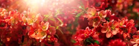 Banner 3:1. Close-up red flowers of Chaenomeles japonica shrub (Japanese quince or Maules quince). Spring background. Copy space. Soft focus Stok Fotoğraf