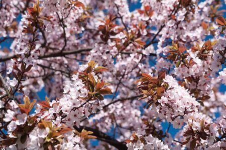 Cherry blossom in full bloom against blue sky. Spring background. Soft focus Stok Fotoğraf
