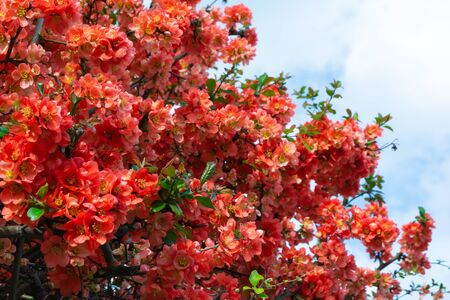 Red flowers of Chaenomeles japonica shrub (Japanese quince or Maules quince) against blue sky. Spring background. Copy space. Soft focus Stok Fotoğraf