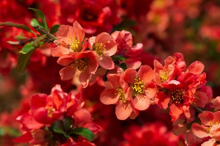 Close-up red flowers of Chaenomeles japonica shrub (Japanese quince or Maules quince). Spring background. Copy space. Soft focus Stok Fotoğraf