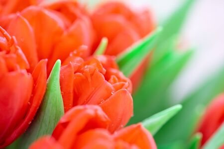 Close-up orange tulips with dew. Valentines day, mothers day or birthday celebration concept