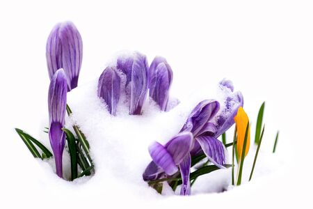 Purple crocus flowers growing in snow during spring. Soft focus. Nature background