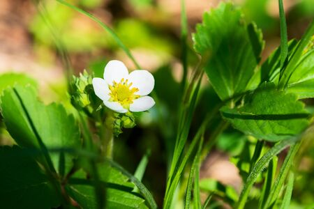 Wild strawberry flowers growing in forest. Nature background Reklamní fotografie