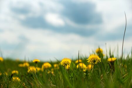Field with yellow dandelionsagainst blue sky and sun beams. Spring background. Soft focus