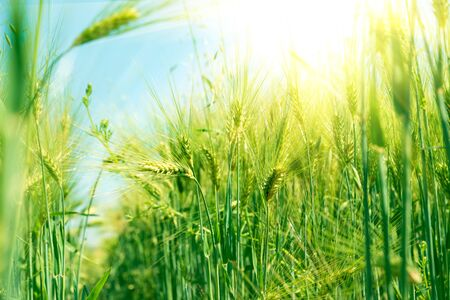 Green wheat field with sun beams. Natural background. Harvest concept. Zero angle