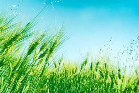 Green wheat field on sunny day. Natural background. Harvest concept. Zero angle 版權商用圖片