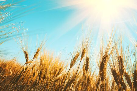 Gold wheat field against blue sky. Natural background. Harvest concept