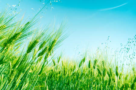 Green wheat field on sunny day. Natural background. Harvest concept. Zero angle Stock fotó