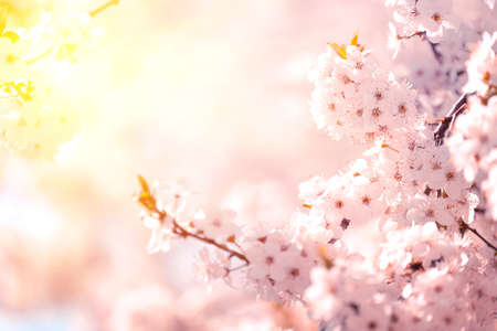 Pink cherry blossom sakura in spring time against blue sky and sun beams. Nature background. Soft focus
