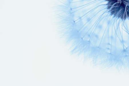 White blowball dandelion on blue background. Macro. Full dept of field