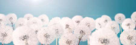 Banner 3: 1. White blowball dandelions on blue background. Macro.