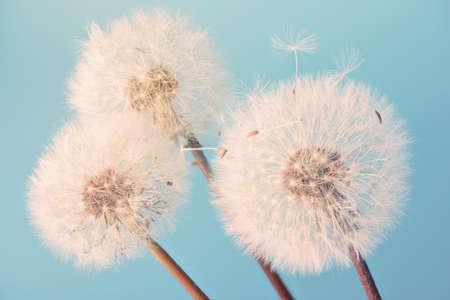 White blowball dandelions on blue background. Macro. Full dept of field