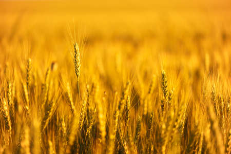 Wheat field. Close up ears of gold wheat on sunset. soft focus. Harvest Concept.