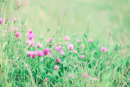 Summer meadow with flowering clower and green grasses at sunset. Soft focus Stock fotó