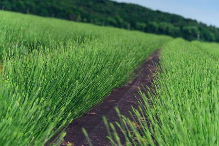 Green lavender bushes closeup on summer. Soft focus