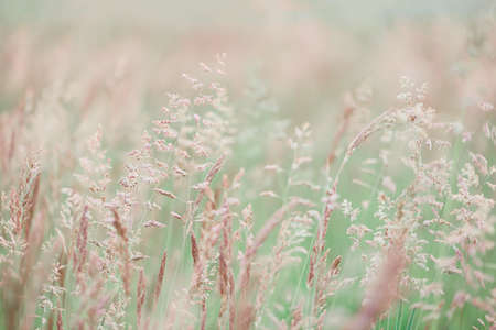Summer meadow with wild grasses at sunset. Soft focus