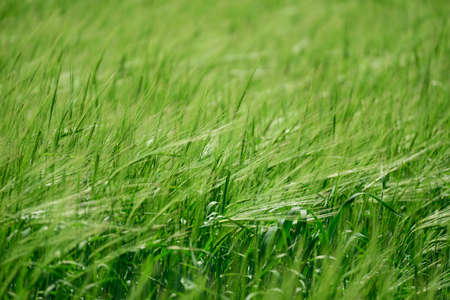 Green wheat field on sunny day. Soft focus