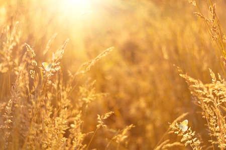 Butterflies on golden field meadow grass. Summer natural rustic landscape. Copy space. Soft focus