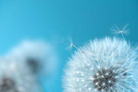 White blowball dandelions on blue background. Macro