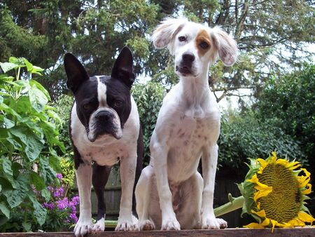 Summer Portrait of Dogs Boston Terrier and English Setter sitting on bench with Sunflower Stock Photo