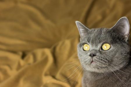 Gray British cat lying on his back animals