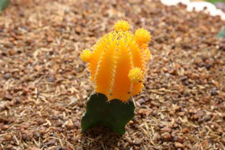 Gymnocalycium cactus flower
