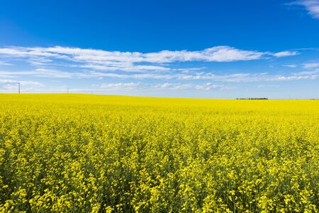 Canola crop farm field with blue sky and clouds during summer