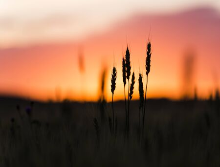 zoomed: Grain head of wheat, triticum, triticeae plant silhouetted against sunset