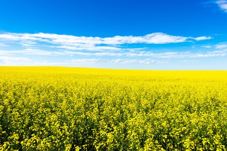 rapaseed: Canola crop farm field with blue sky and clouds during summer