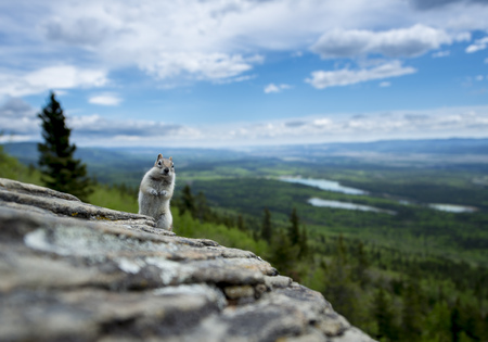 Chipmunk on two legs looking curiously from a rock in the mountains