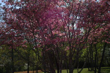 A purple dogwood tree in full bloom Stock Photo - 2248977