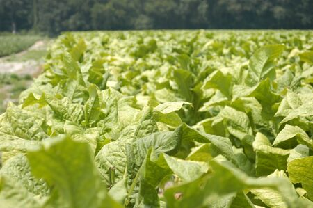 tobacco plants: tobacco plants in the field ready for harvest