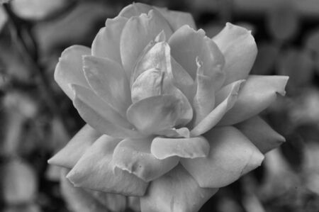 bl: A closeup view of a red rose seen in black and white