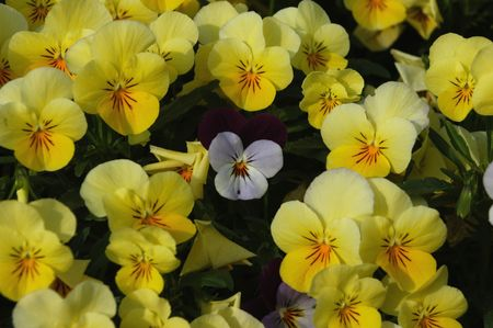 A field of pansies in the spring of the year with one white flower in the middle of a bunch of yellow ones