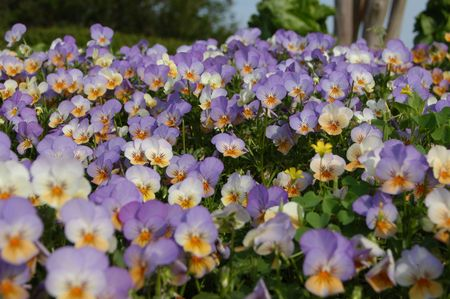 A field of pansies in the spring of the year