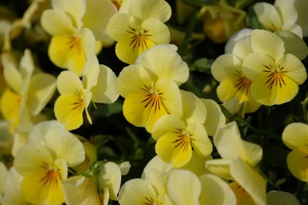 A field of yellow pansies in the spring of the year