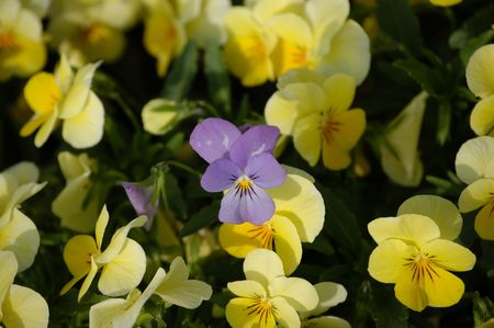 A field of pansies in the spring of the year with one purple one