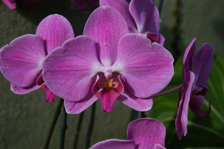 A closeup view of  purple orchids in bloom photo
