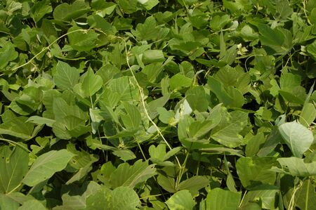 scourge: Kudzu the scourge of the southern United States