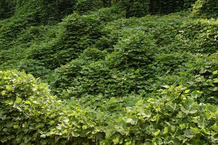 scourge: Kudzu vines the scourge of the southern United States